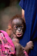 ASIA;BABIES;CUTE;ENDANGERED;GREAT_APES;INDONESIA;MAMMALS;NP;ORANGUTAN;PEOPLE;PRI