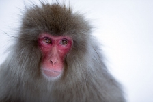 JAPANESE MACAQUES or SNOW MONKEYS