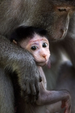LONG TAILED OR CRAB EATING MACAQUES