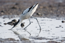 AVOCETS & THICK-KNEES