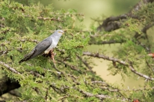 CUCKOOS & COUCALS