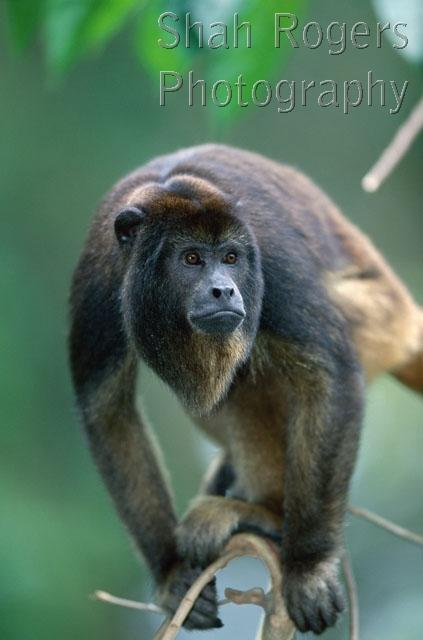 FACES;HEADS;HOWLER_MONKEYS;MAMMALS;MONKEYS;PORTRAITS;PRIMATES;VERTEBRATES;VERTIC