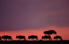 AFRICA;ANTELOPES;ARTIODACTYLA;BOVIDS;DUSK;HORIZONTAL;MAMMALS;PINK;SILHOUETTES;SU