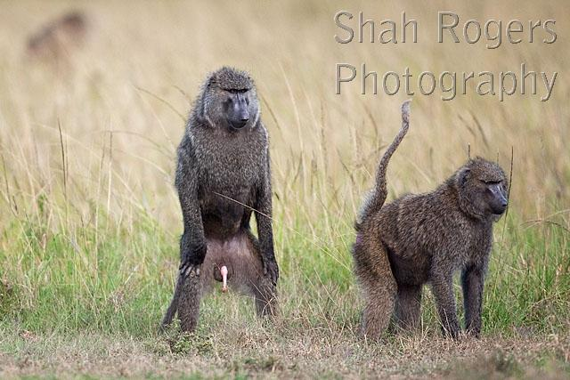 Olive Baboon Male Standing On His Hind Legs Watching A Female