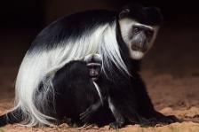 BLACK-AND-WHITE COLOBUS GUEREZA