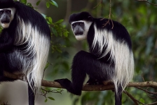 BLACK-AND-WHITE COLOBUS GUEREZA