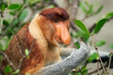 ASIAN PRIMATES - PROBOSCIS