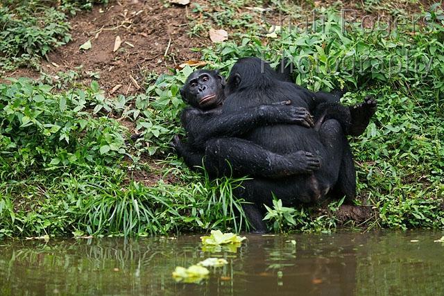 Bonobos mating face to face (Pan paniscus). Lola Ya Bonobo ...