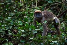 TANA RIVER RED COLOBUS