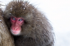 ASIAN PRIMATES - MACAQUES