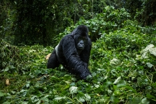 MOUNTAIN GORILLAS 2016