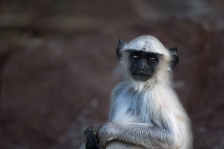 SOUTHERN PLAINS GREY or HANUMAN LANGUR