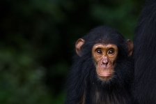 CHIMPANZEE EASTERN SUB-SPECIES