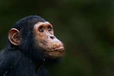GOMBE CHIMPANZEES
