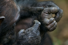 NEW GOMBE CHIMPANZEES 2012