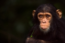 NEW GOMBE CHIMPANZEES