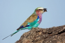 SMALL AFRICAN BIRDS