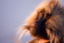 AFRICAN PRIMATES - GELADA