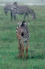 EAST_AFRICA;MAMMALS;PERISSODACTYLA;RAIN;RAINING;VERTEBRATES;VERTICAL;wet;young