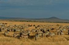 AFRICA;GRASSLAND;GROUPS;HABITAT;HORIZONTAL;LANDSCAPES;MAMMALS;NP;PERISSODACTYLA;