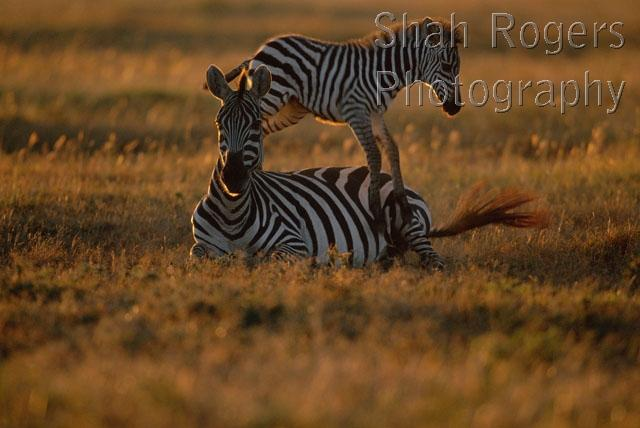 Foal Jumping With Mother Common Zebra Foal Jumping Over