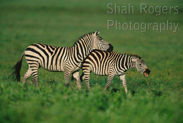 zebra mating pictures, horse mating videos, zebra mating videos, horse ...
