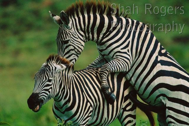 Common Or Plains Zebra Mating Behaviour Male Attempts To Mount