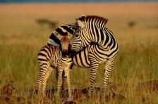 AFRICA;ARTIODACTYLA;CUTE;FAMILIES;GRASSLAND;MAMMALS;OUTSTANDING;PARENTAL;PERISSO