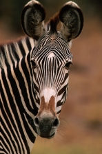 AFRICA;EARS;ENDANGERED;FACES;HEADS;MAMMALS;OUTSTANDING;PATTERNS;PORTRAITS;STRIPE