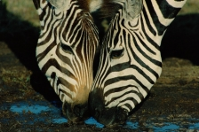 AFRICA;DRINKING;EYES;FACES;HEADS;HORIZONTAL;MAMMALS;PERISSODACTYLA;STRIPES;VERTE