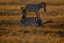 ACTION;AFRICA;BABY;COMMUNICATION;CUTE;FAMILIES;HORIZONTAL;JUVENILE;MAMMALS;MOTHE