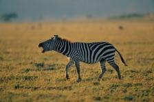 AFRICA;CALLING;GRASSLAND;HORIZONTAL;MAMMALS;PERISSODACTYLA;RESERVE;SAVANNA;VERTE