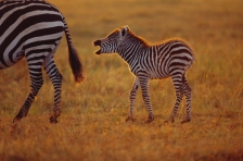 AFRICA;BABIES;BABY;CUTE;DUSK;GRASSLAND;HORIZONTAL;JUVENILE;MAMMALS;PERISSODACTYL