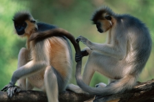 OTHER LANGURS