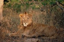 ASIA;BIG_CATS;CARNIVORES;ENDANGERED;LIONS;MALES;MAMMALS;PORTRAITS;VERTEBRATES