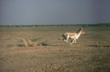 INDIAN WILD ASS