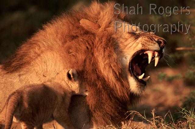 Tiny Lion Cub Biting Adult Male Lion Panthera Leo Maasai
