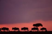 AFRICA;ANTELOPES;ARTIODACTYLA;BOVIDS;DUSK;HORIZONTAL;MAMMALS;PINK;SILHOUETTES;SU