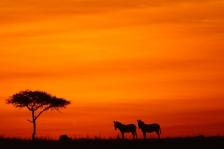 AFRICA;DUSK;GRASSLAND;HORIZONTAL;LANDSCAPES;MAMMALS;PEACEFUL;PERISSODACTYLA;SAVA