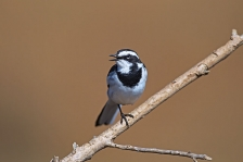 WAGTAILS & LONGCLAWS