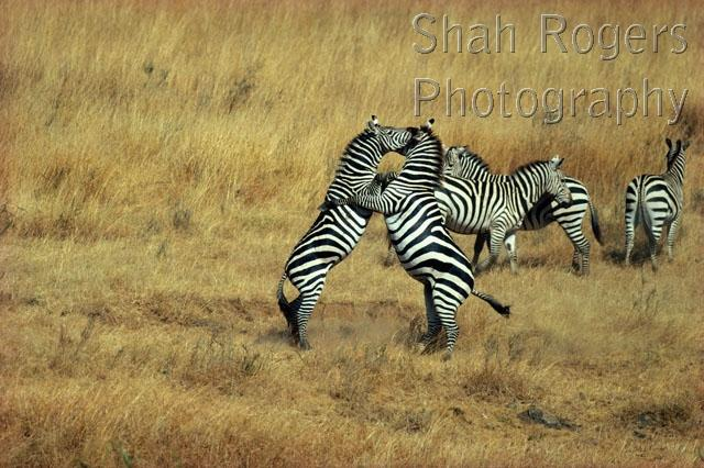 ACTION;AFRICA;AGGRESSION;BEHAVIOUR;DOMINANCE;FEMALES;FIGHTING;GRASSLAND;MALES;MA
