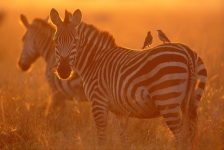 AFRICA;ARTIODACTYLA;ATMOSPHERIC;BIRDS;MAMMALS;PERISSODACTYLA;SUNSET;VERTEBRATES;
