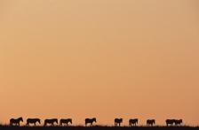 AFRICA;ARTIODACTYLA;GROUPS;HORIZONTAL;MAMMALS;SILHOUETTES;SKY;SUNRISE;TEN;VERTEB