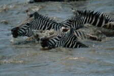 ACTION;AFRICA;FACES;GROUPS;HEADS;HORIZONTAL;MAMMALS;PERISSODACTYLA;RIVERS;SURFAC