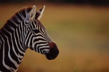 AFRICA;EARS;FACES;HEADS;HORIZONTAL;MAMMALS;OUTSTANDING;PERISSODACTYLA;PORTRAITS;