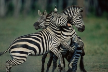 ACTION;AFRICA;AGGRESSION;BEHAVIOUR;DOMINANCE;FIGHTING;GROUPS;HORIZONTAL;MALES;MA