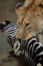 AFRICA;BEHAVIOUR;BIG_CATS;CARNIVORES;DEATH;HEADS;LIONS;MAMMALS;PREDATION;RESERVE