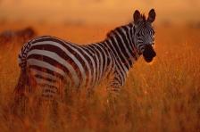 AFRICA;DUSK;GRASSLAND;HORIZONTAL;MAMMALS;PEACEFUL;PERISSODACTYLA;PORTRAITS;PROFI