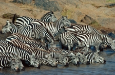 AFRICA;DRINKING;GROUPS;HORIZONTAL;MAMMALS;PERISSODACTYLA;RIVERS;STRIPES;VERTEBRA